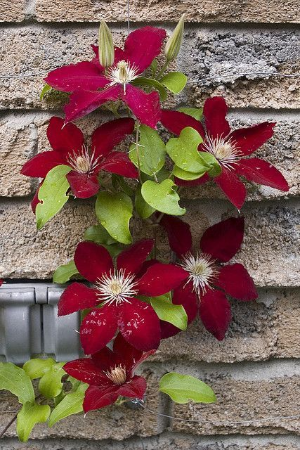 "Clematis ""Rebecca""                                                       …"