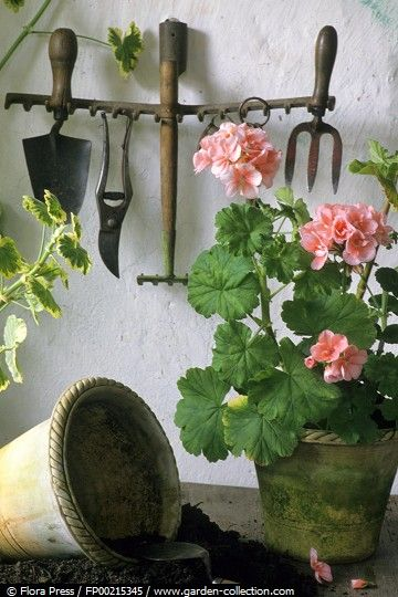 .oh the lovely smell of my geraniums and potting mix on a gray day like today-it is wonderful