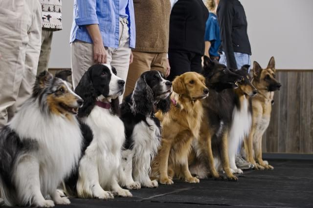 Group dog obedience classes are one option for training a dog. Learn more about this type of class to discover if it is the right choice for you and your dog.