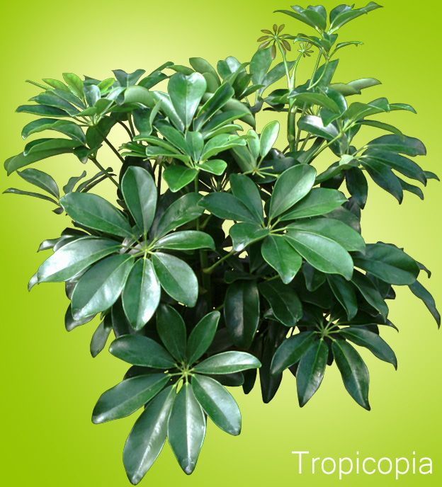 shiny green hawaiian schefflera plant i have one they seem to turn to face the light