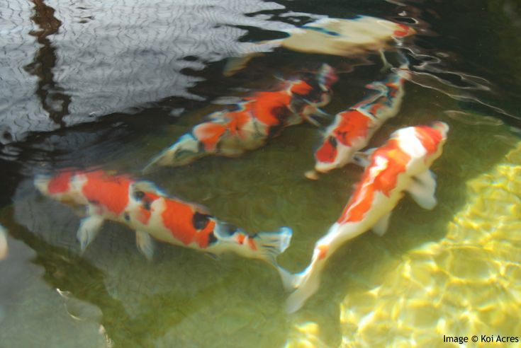 15 best koi fish pond images on pinterest koi ponds for Awesome koi ponds