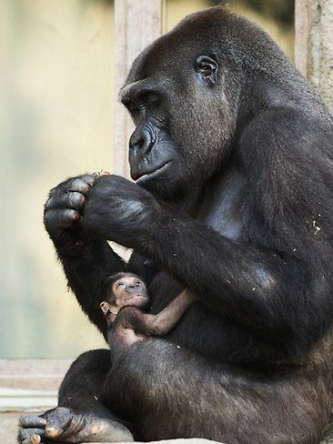 Kriba, a western lowland gorilla, cradling her new born female baby Kipenzi in their enclosure at Taronga Zoo, Mosman in Sydney. Kriba gave birth to Kipenzi on 15/01/2011 and her birth is vital addition to the international breeding program as western lowland gorillas are classified as critically endangered. Picture: Justin Lloyd