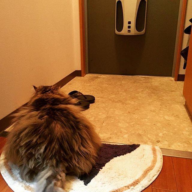 . 玄関マットって必要ない気がして無くしたいのに 猫のお気に入りの場所だから無くせない🐈 たまに居間に運んできてまで乗ってる💧 #愛猫 #マット愛