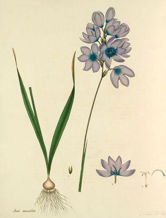 'Ixia maculata' -- Illustrations -- Flowers -- RHS Prints