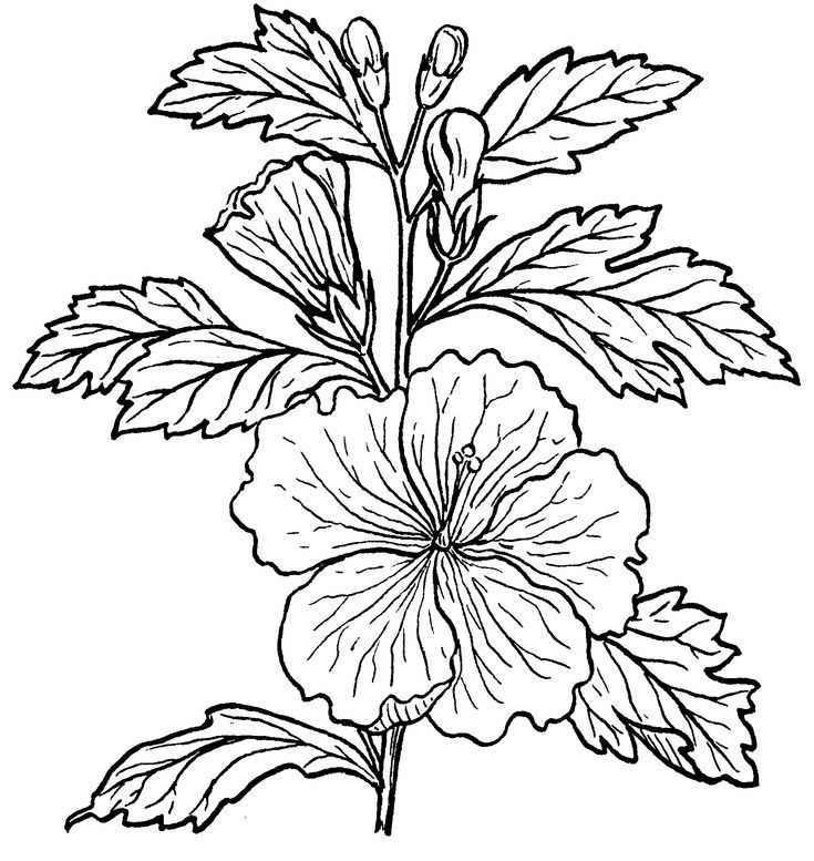Hibiscus Flower Line Drawing : Line drawings google search pyrography pinterest