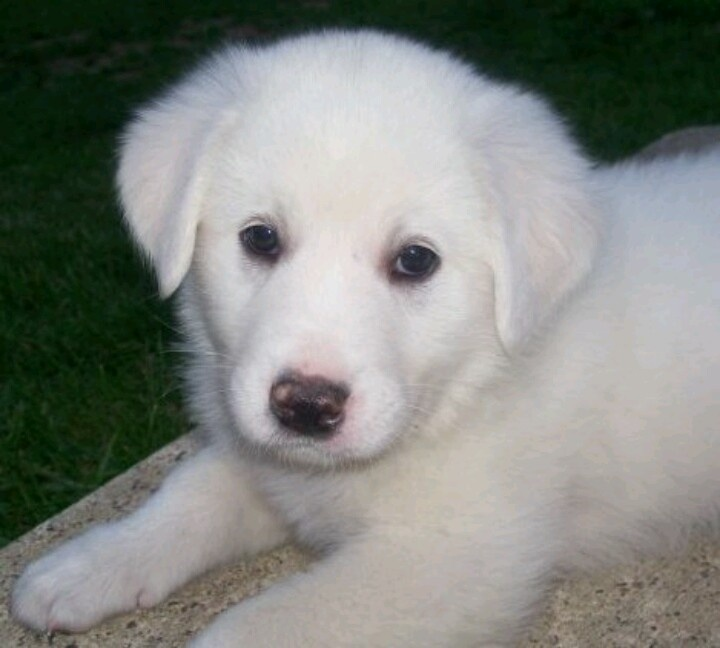 Great Pyrenees/Spanish Mastiff puppy...not little for long!