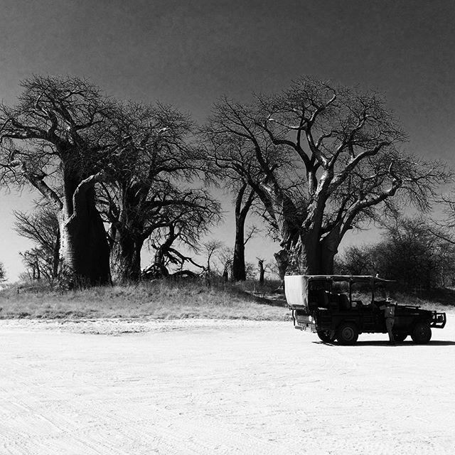 Baobab trees in Botswana.