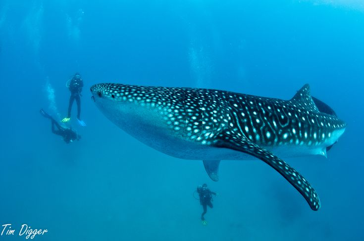 Swimming with the whale sharks more commonly known as butanding in Donsol, Philippines. I want to try that..