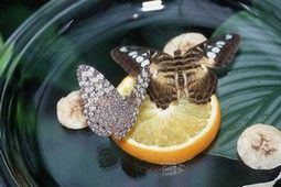 Butterfly feeder: Diy Butterflies, Gardens Ideas, Butterflies Feeders, Butterflies Gardens, Butterflies Food, Mixtur Boiled, Easy Step, Butterfly Feeder, Food Recipe
