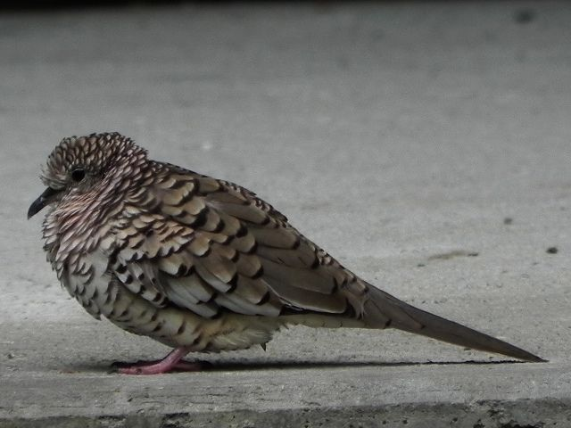https://flic.kr/p/9WvwMv | Palomita Maraquita (Scaled Dove)