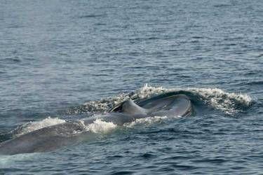 Blue Whale (Balaenoptera musculus)