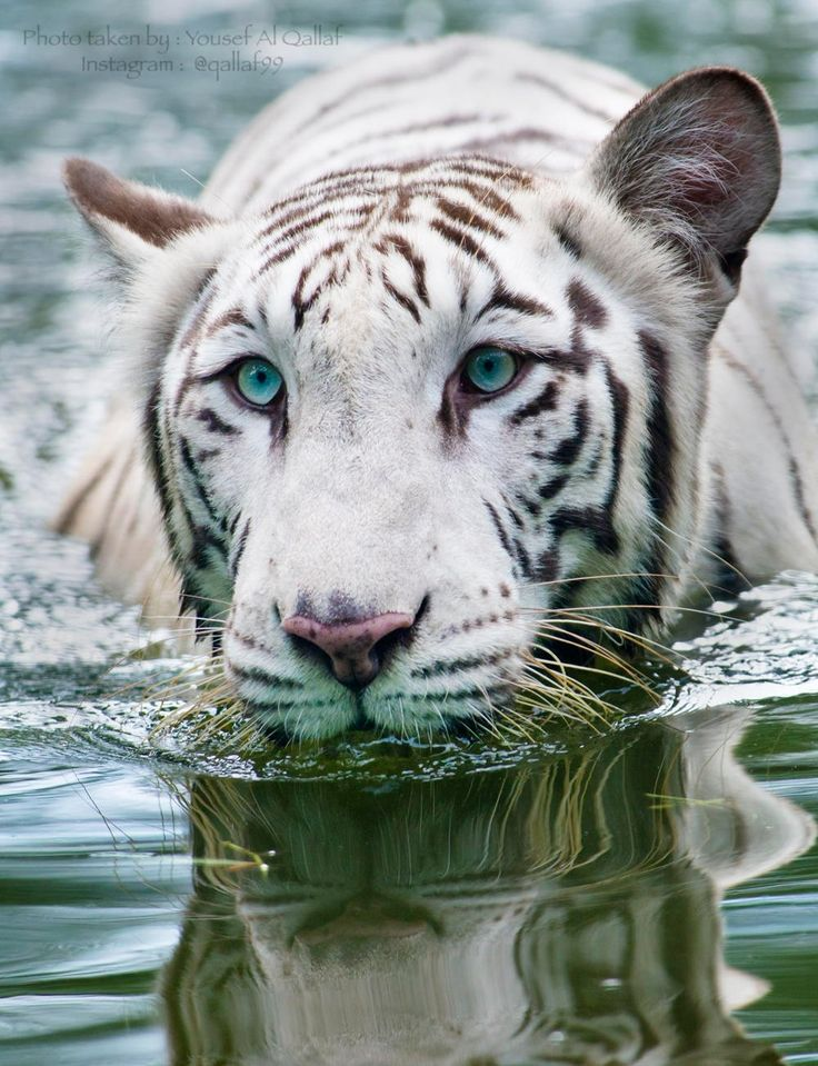Blue Eyes - White tiger at Kuala Lambur National Zoo