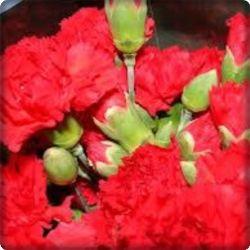 цветы красная гвоздика-фото