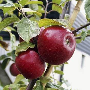 Äpple 'Amorosa'