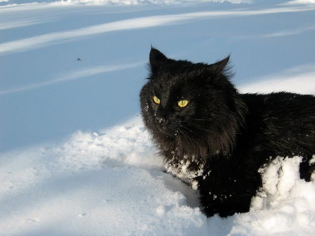 "I'm missing my finicky, moody, who only loves to hug me, ""Night Furry"", black norwegian forest cat"