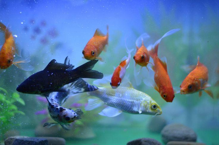 红黄蓝黑白五色为物理主要色相,鱼缸里的九尾锦鲤在相机捕捉的瞬间,以黑色鱼为主导、金红色鱼为辅,加上金黄鱼鳞和白肚,和着大面积的蓝底,堆砌出一幅和谐灵动的视界。 .