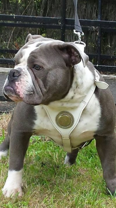 Blue & White Olde English Bulldogge