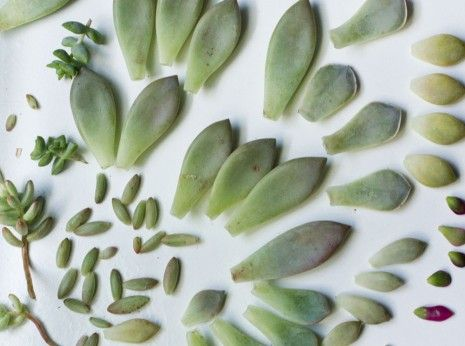 Propagating-Succulents-from-Leaves-