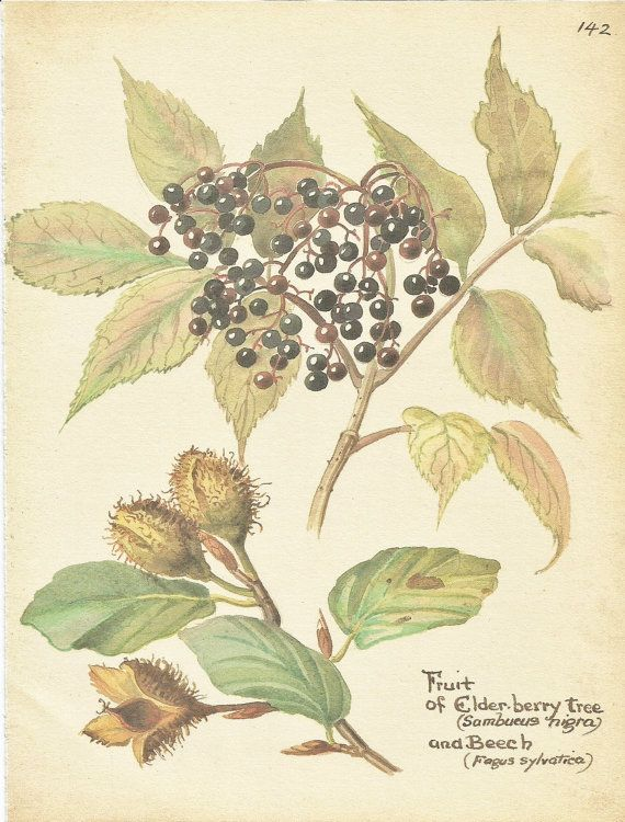 Flower Print - Elderberry Tree - Beech Tree - Vintage Autumn Botanical Book Plate Print - Diary of Edwardian Lady - Edith Holden - 1906