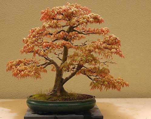les plus beaux bonsaïs au monde