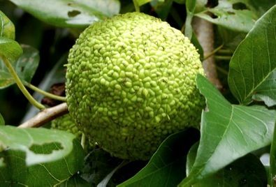 Osage Orange is fabulously and famously tough, termite-proof, and used as barbed-wire hedges across the West.  The seeds are edible.  The wood lasts centuries.  There are pesticide applications...