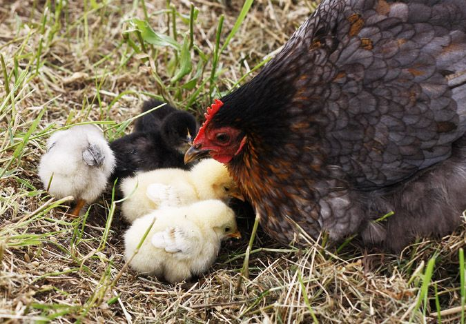Pekin chickens are renown for being docile and gentle natured. http://www.backyardchickencoops.com.au/breed-profile-pekin/