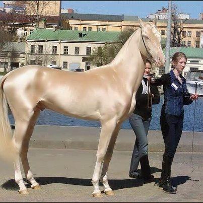 Este cavalo, que parece feito de ouro, é considerado o mais bonito do mundo....e concordo plenamente e nem preciso de ver mais nenhum. Que elegância até faz pena montar para não estragar