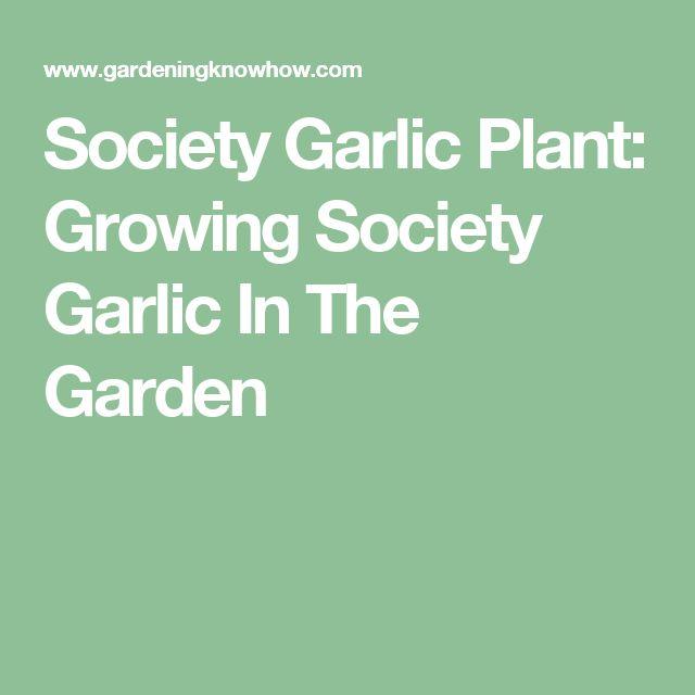 Society Garlic Plant: Growing Society Garlic In The Garden