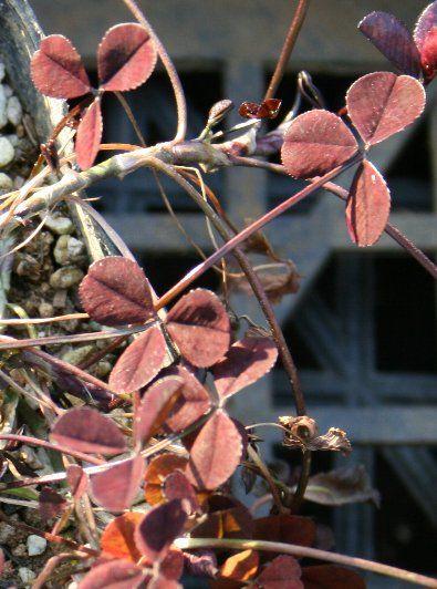 'Trifolium repens 'Wheatfen'