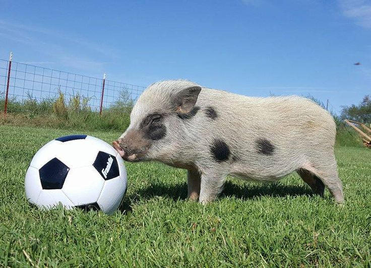 mini pig therapy certification training