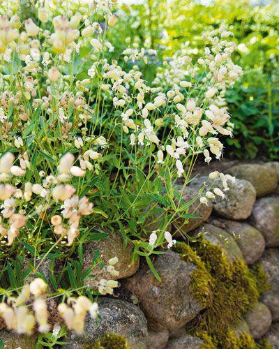 Leimkraut Silene vulgaris