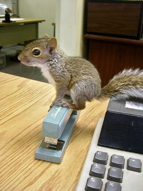 A baby squirrel sitting on a stapler? Awesome. #squirrels #babyanimals