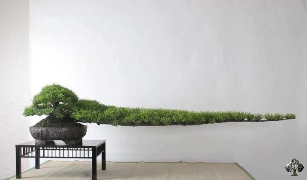 Junípero por Michael Bonsai - Foram necessários 30 anos para cultivar o galho de 2 metros deste bonsai de Junípero, no Jardim de Quioto Ryokan Yachiyo. Foto: Michael Bonsai.