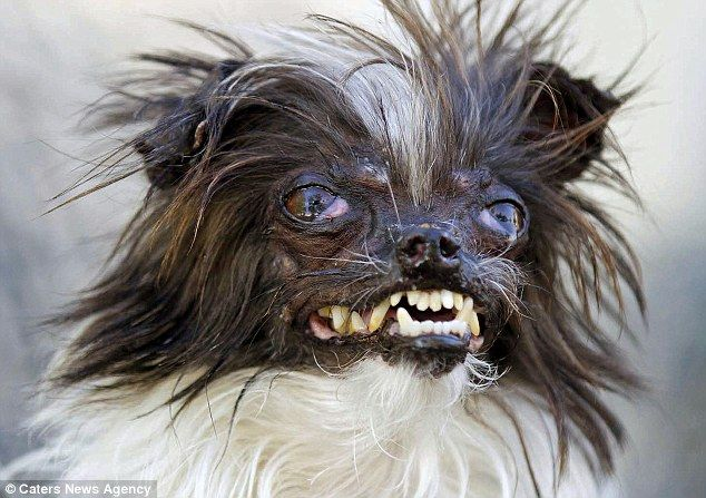 Winner: Peanut wowed judges at the annual World's Ugliest Dog contest in California with h...