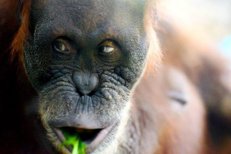 Grazing Orangutang - Toronto Zoo Ontario, Canada