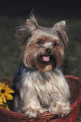 Many Yorkies have weepy eyes, and those waterworks can lead to infection and hair rot if you don't keep the area around your little pal's eyes clean and dry. The good news: With just a minute or two of daily care, your Yorkie's hair will stay healthy.