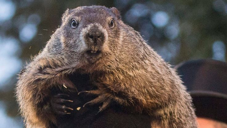 Efforts to make long-term weather predictions through the behaviour of rodents fall into discord as groundhogs in Canada and the U.S. make conflicting calls about the arrival of spring.