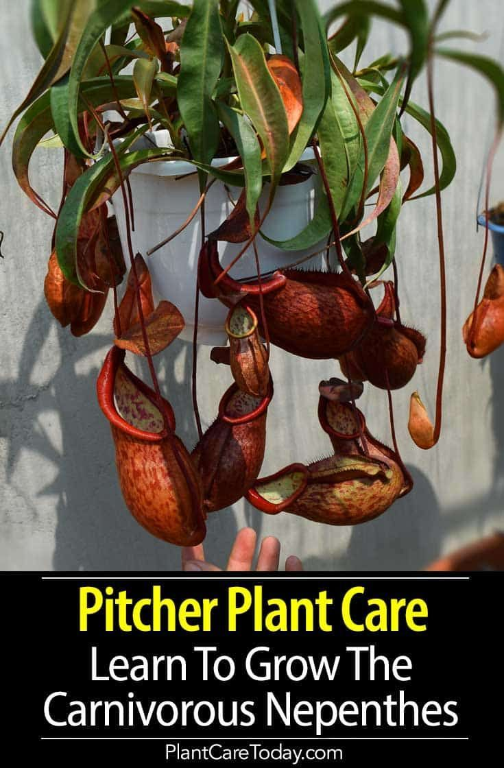 Pitcher Plant Care Learn To Grow The Carnivorous Nepenthes
