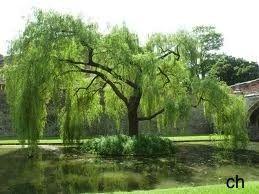 Een treurboom, die gezellig staat te treuren boven je vijver zoals een treurwilg of een van de andere treursoorten?