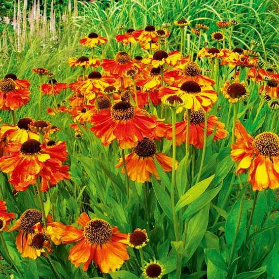 Helenium 'Sahin's Early Flowerer'   Heleniums   Garden plant idea   Homes & Gardens   Housetohome   PHOTOGALLERY