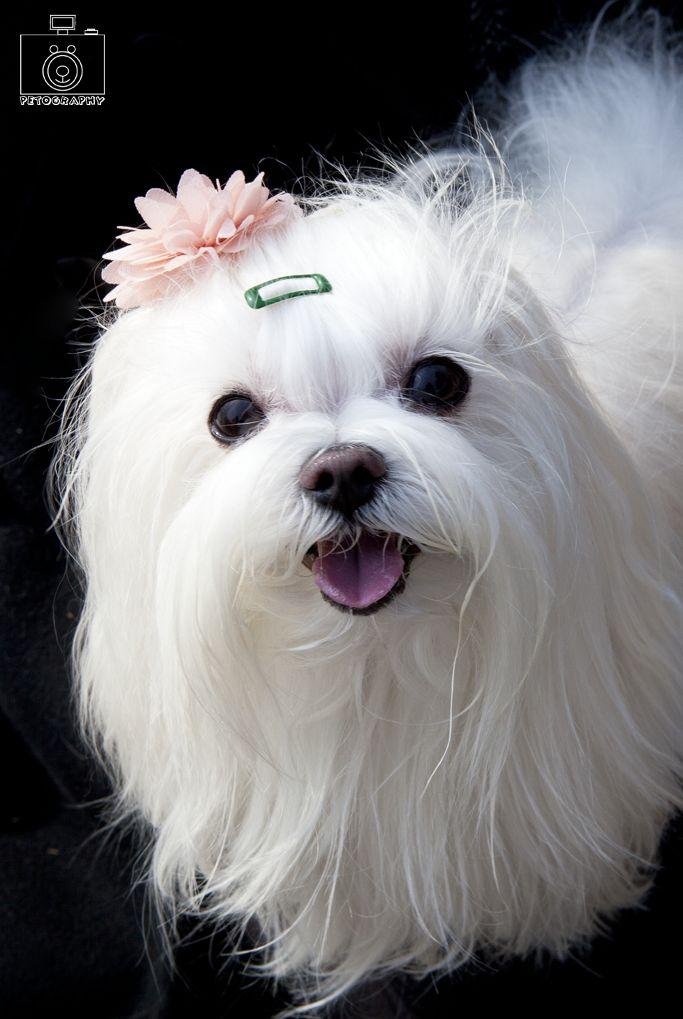 Sweet Maltese. 토토 #lovepet #pets #petography #petphotography #dog #doglover #puppies #dogphotography #dogphotographer #dogfashion #애견스냅 #애견촬영 #애견스튜디오 #펫토그래피 #강아지 #개 #강아지사진 #반려동물 #반려동물촬영 #반려견 #펫스튜디오 #말티즈 #maltese