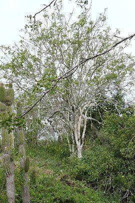 Bursera graveolens - Wikipedia