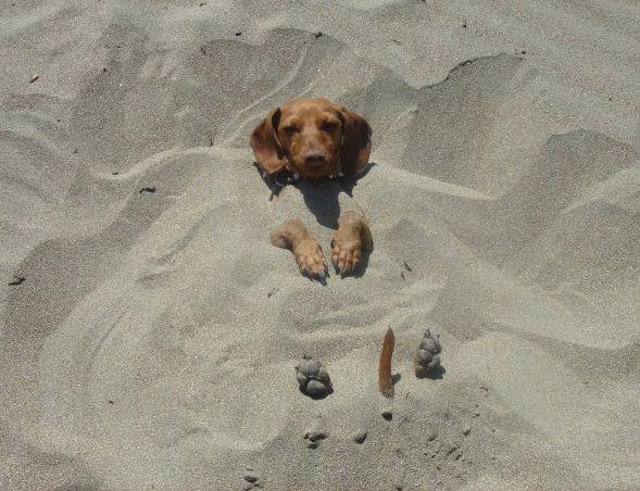 Beach Dog: Sands, At The Beaches, Doxi, Hotdog, Puppys, Funnies, Hot Dogs, Animal, Beaches Picnics