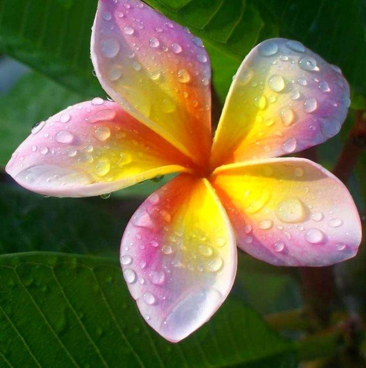Plumeria, common name Frangipani. Beautiful Lei Flower ...