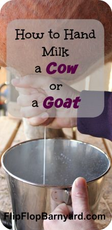 How to Hand Milk a Cow or a Goat | www.flipflopbarnyard.com