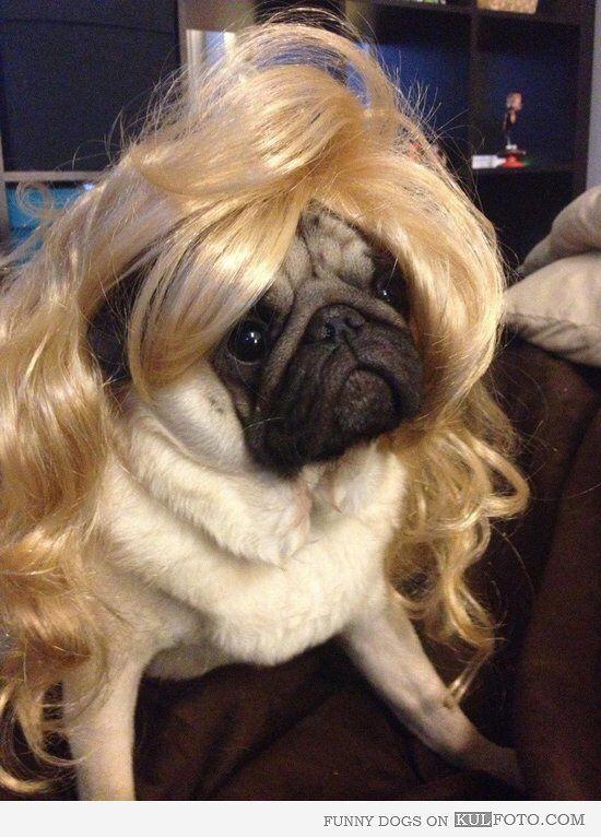 Pug blonde wavy | Dogs: Pugs in Wigs | Pugs, Cute pugs, Dogs