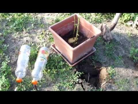 Il pique une rose dans une pomme de terre! Une semaine plus tard, ce qui pousse vous épatera! - Trucs et Astuces - Trucs et Bricolages