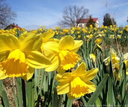 p allan smith daffodills | Daffodil Hill - Picture of P. Allen Smith's home and farm, Roland ...