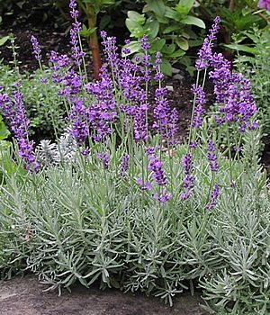 """Lavender-The """"Hidcote"""" variety makes strong reliable lavender that makes a great edging plant in your garden or along a walkway. Like the other Lavenders, they are delightfully fragrant and can be picked and dried in bunches for a fragrant decoration. Numerous universities put Lavender on their list of deer resistant plants."""