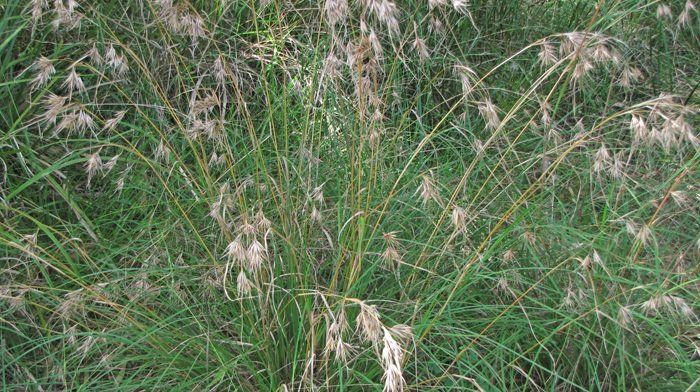 Kangaroo Grass Themeda triandra